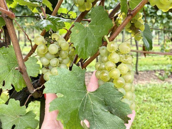 vinícola Aurora Visitação e Degustação